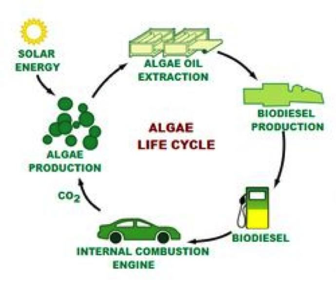 algae as energy  a look to the future