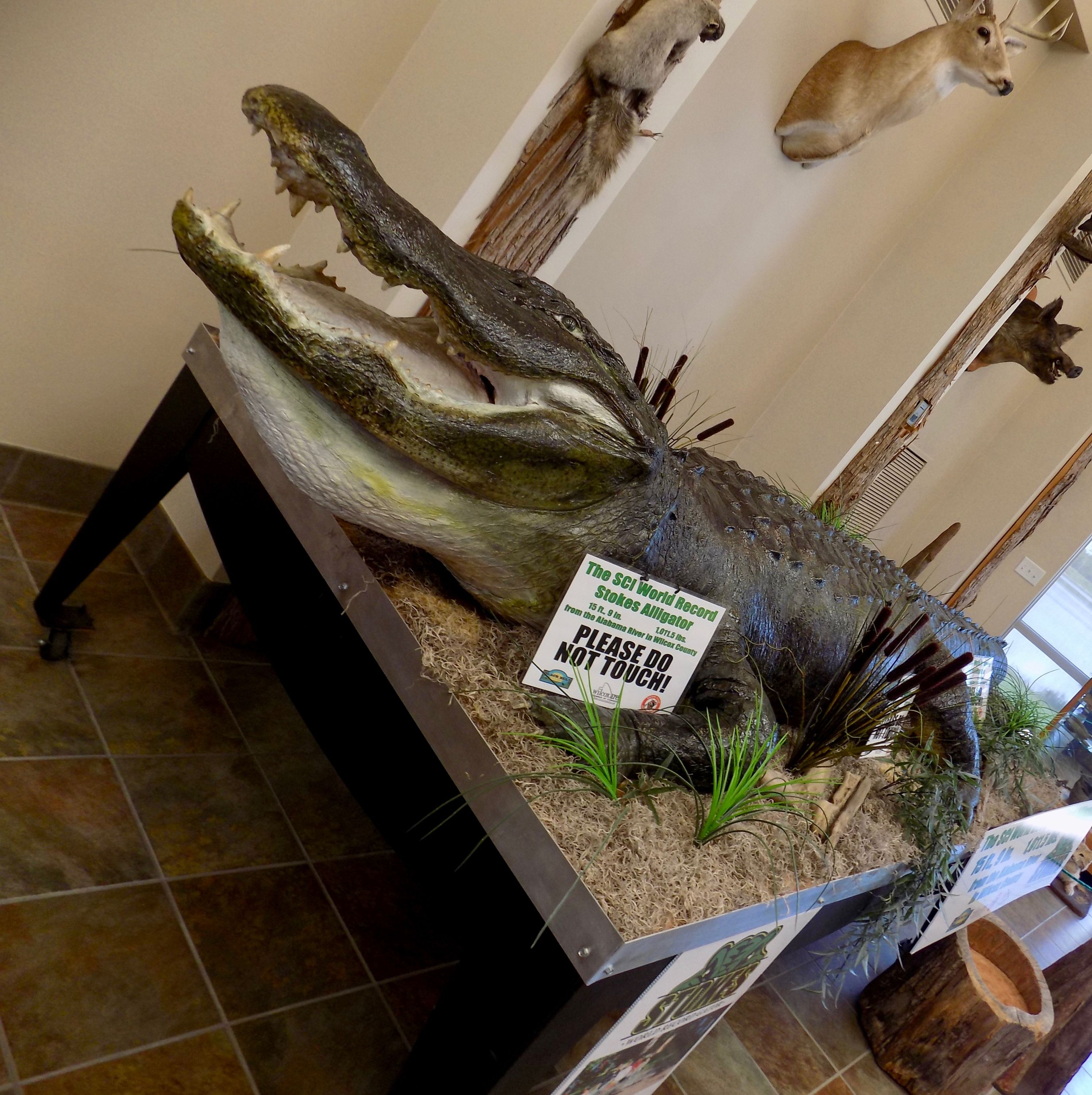 Mandy Stokes' record-setting alligator.